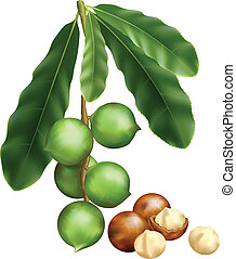 Leaves and fruits of Macadamia. Vector illustration on a...