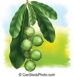 Leaves and fruits of Macadamia.
