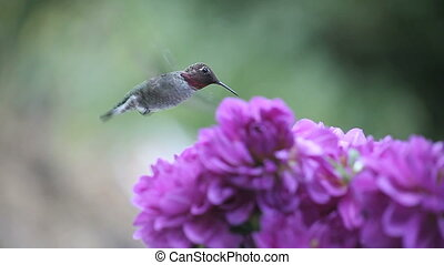 hummingbird in purple flowers - hummingbird is seen with...