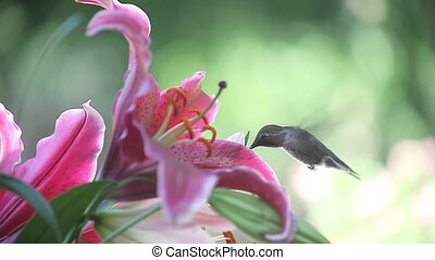 hummingbird with stargazer lilies - hummingbird feeds on...