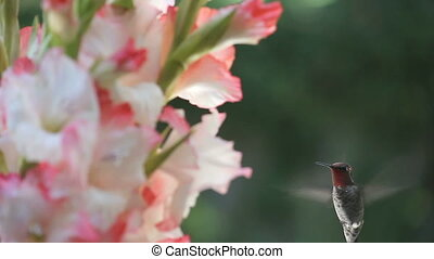 hummingbird in gladiolas - ruby-throated hummingbird feeds...