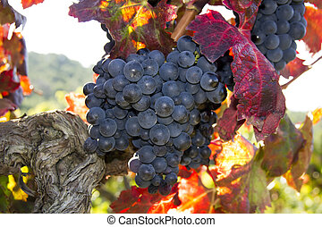 Mellow blue grapes - mellow blue grapes just before harvest...