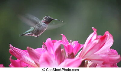 hummingbird close-up in lilies - close-up view of a...