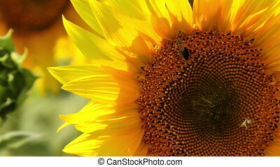 Bee harvesting pollen on a sunflower