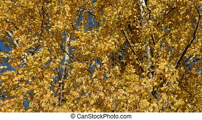 birches autumn foliage background