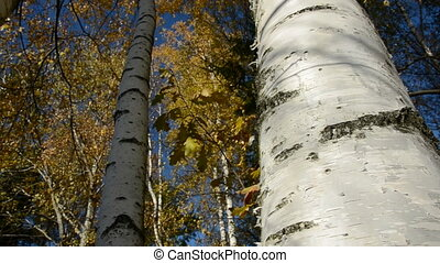 wind in the golden autumn birches