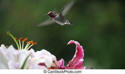 hummingbird with pink and maroon li - ruby-throated...