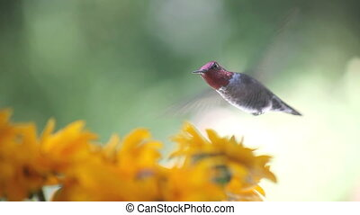 hummingbird in rudbeckia flowers - ruby-throated hummingbird...