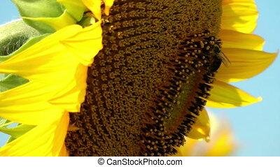 Bee harvesting pollen