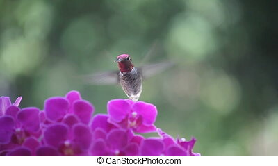 hummingbird in purple orchids - hummingbird among purple...