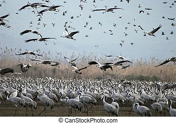 Cranes migrates at spring - Grey cranes over Hula lake,...