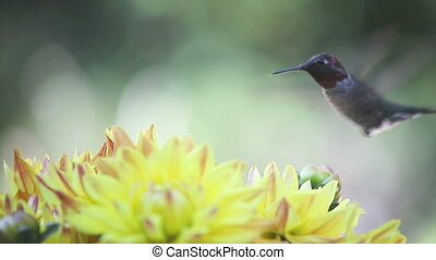 hummingbird with yellow dahlias - ruby-throated hummingbird...