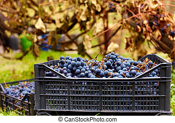 Harvested grapes in cases - Harvested blue grapes in crates...
