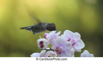 hummingbird with orchids - hummingbird in pink and white...