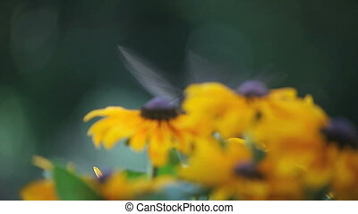hummingbird in black-eyed susans - a hummingbird among...