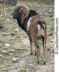 Mouflon in stony ambiance