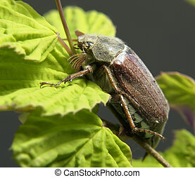 may beetle sitting on a twig with fresh leaves in grey back