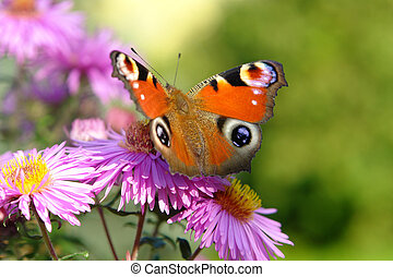 peacock butterfly on violet flowers in green blurry back