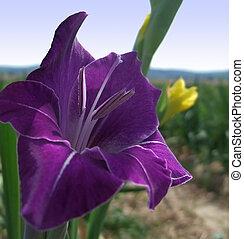 gladiolus flower - detail of a gladiolus flower at summer...