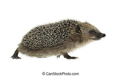 walking hedgehog in white back - low angle shot of a walking...