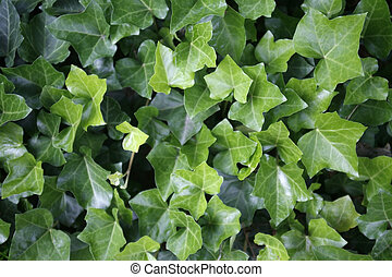 ivy leaves closeup - full frame detail of fresh green ivy...