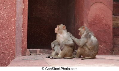 Rhesus Macaque monkeys grooming at Agra Fort, Agra, Uttar...
