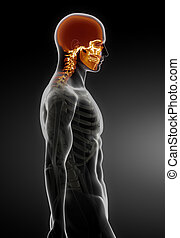 Human Skull Medical Scan