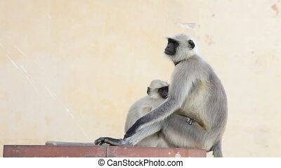 Gray Langur Monkey Holding Infant