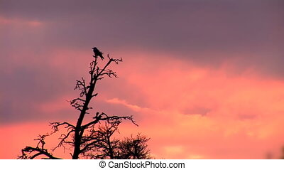 sunset crown 2 - Two ravens sits at the top of the pines at...