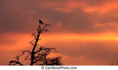 sunset crown 1 - Raven sits at the top of the pines at...