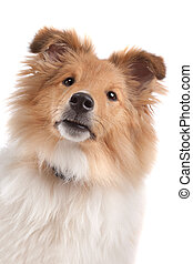 Shetland sheepdog in front of a white background