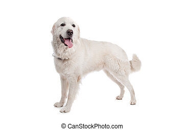 Polish Tatra Sheepdog in front of a white background
