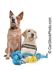 Labrador and Australian Cattle dog in front of a white...