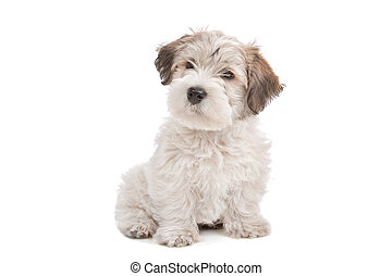 mix Maltese Puppy dog in front of a white background