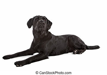 cross breed dog of a Labrador and a Flat-Coated Retriever in...