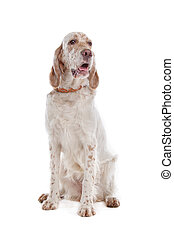 English Setter in front of a white background