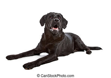 cross breed dog of a Labrador and a Flat-Coated Retriever