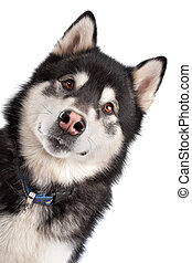 Alaskan Malamute in front of a white background