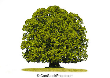 linden tree - isolated single linden tree over white