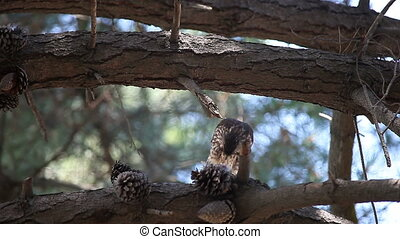 male hawk eating - a sharp-shinned hawk eats part of his...