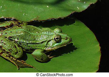 green frog on lily - green frog sitting on lily pad in the...