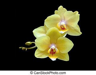 yellow orchid on a black background