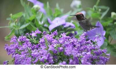 bellflowers with hummingbird - hummingbird finds food in...