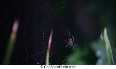 spider and web - a garden spider works on its web
