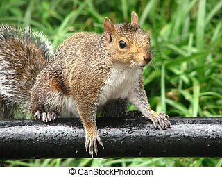 Park squirrel - a squirrel that jumped up for a picture in...