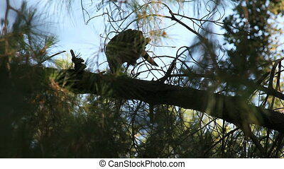 hawks mating - male hawk interrupts female's meal to mate at...