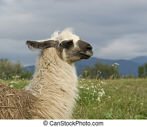 lama in cloudy ambiance