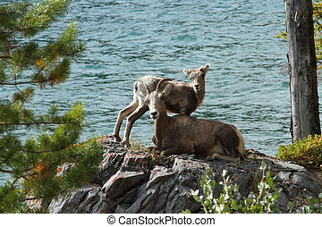 Big Horn Sheep with Lamb - Female Rocky Mountain Big Horn...