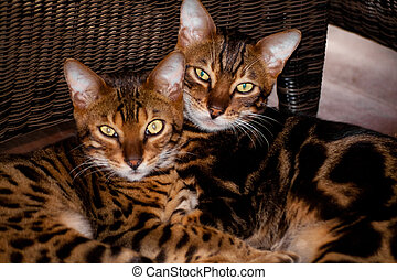 Side by side - 2 bengal cats faces side by side
