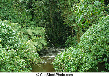 Bwindi Impenetrable Forest in Uganda - vegetation inside the...